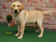 Wunderschöne Labrador Welpen