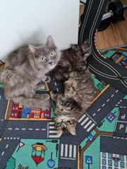 Main Coon Mix baby s