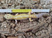Leopardgecko Eublepharis macularius 1 0