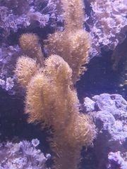 korallenableger xenia gorgonia keniabäumchen krsutenanemonen