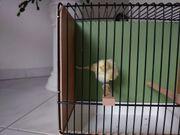 Kanarienvogel Nordholländer Henne