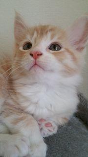 Maine Coon Kitten - Katzenbabys -