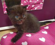 Zuckersüßer BKH Kater Katzenbaby Kitten