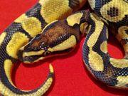 Schickes Enchi Blaze Yellowbelly Männchen