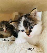 Sibirische Katzen Babys