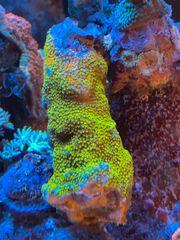 Montipora Rainbow Riffast bewachsenen Meerwasser
