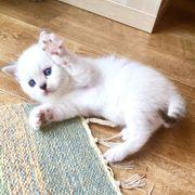 Scottish Fold Straight Kätzchen Kitten