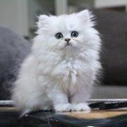 Atemberaubende Schneewittchen Glh weibliche Kätzchen