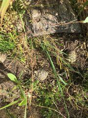 Europäische Landschildkröten abzugeben