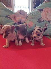 Reinrassige Chihuahua Blue Merle Welpen