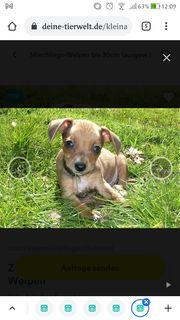 Chihuahua mit pinscher