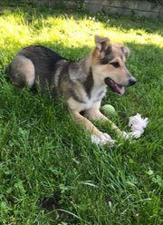 AMIKA - 5 Monate - Schäferhund-Mischling Hündin