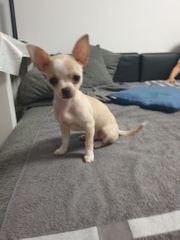 Rüde 5 Monate alt Chihuahua