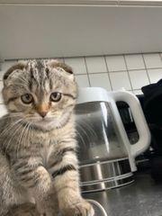 BKH Scottish kitten