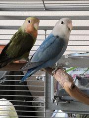 Agarponide Unzertrennliche Lovebirds Paar