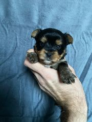 Mini Yorkshire Terrier Welpen Biewer