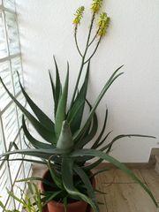Aloe Vera Blatt oder Pflanzen