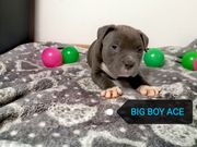 American bully pocket Welpen