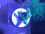 Seriatopora caliendrum grün - verzweigt ca