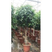 Ficus exotica - - Besondere Stämme art63593