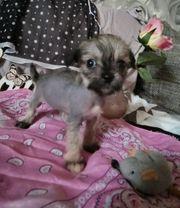 Schopfhund Chihuahua