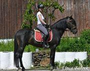 Andalusier Schwarzbraun Hengst 6 Jahre