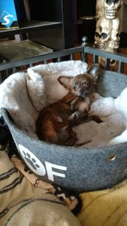 Chihuahuarüde mit Ahnebtafel 6 Monate