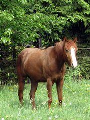 2 Quarterhorse - Stuten 2 und