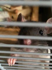 Liebe Baby ratten