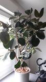 Gummibaum Ficus Elastica - Hochdorf - Verkaufe hier einen schönen Gummibaum ca 130cm hoch und 90cm breit. ohne Topf 20 , mit Topf (Tonkügelchen und Wasserstand-Anzeiger) 30 - Hochdorf