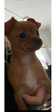 Chihuahua Rehpinscher