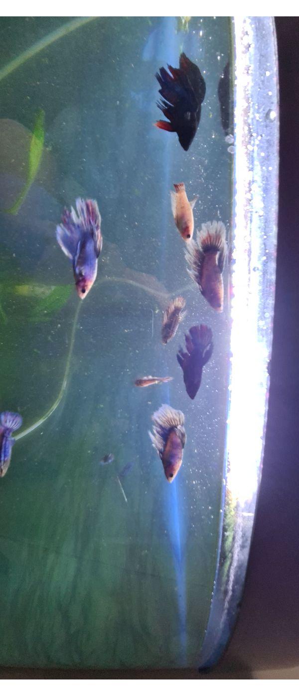 Kampffisch Männchen