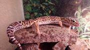 Leopardgecko männchen ca 20 Jahre
