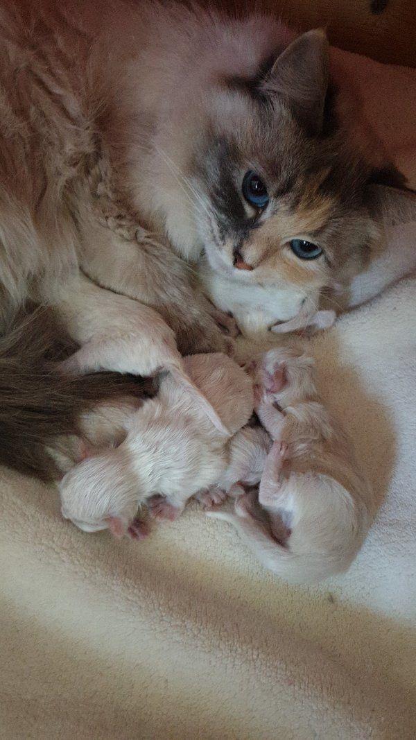 Neva Masquarade Ragdoll Babys geimpft