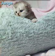 BKH Scottisch Fold Kitten 2