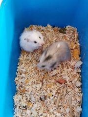 Teddy Hamsterbabys Männchen