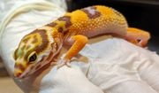 Leopardgeckos Zuchtgruppe