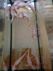 Axolotle Nachwuchs
