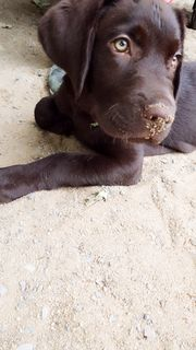 Labrador rüde