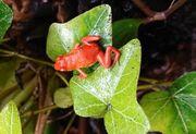 Oophaga pumilio El Dorado Erdbeerfrosch