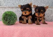 Yorkshire Zwerg-Yorkshire Terrier Babys Pap