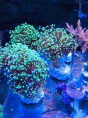 Meerwasser Eyphiliya bicolor Hammerkoralle Ableger