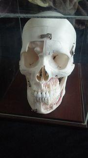 Suche echte menschliche Schädel Schädelpräparate
