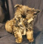 XXXS Ocean Pearl Yorkshire Terrier