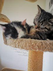 Süße Perser Mix kitten
