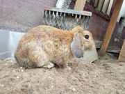 2 männliche Kaninchen