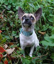 Chihuahua-Rüde 4 Monate
