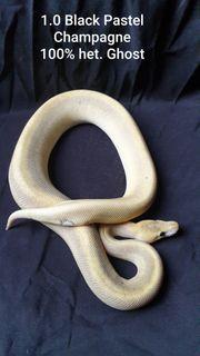 Python Regius 4 3 u