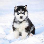 Siberian Husky Welpen xdss1