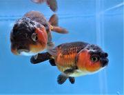 KOI 13 Anz 49 2020 Goldfisch -